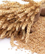 7936123-The-scattered-bag-with-wheat-of-a-grain-Stock-Photo-harvest